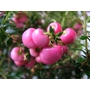 GAULTHERIA mucronata &#x27;Crimsonia&#x27; 