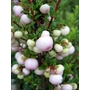 GAULTHERIA mucronata &#x27;Mother of Pearl&#x27; 