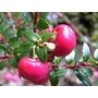 GAULTHERIA mucronata 'Signal' 