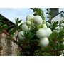GAULTHERIA mucronata 'Snow White' 