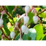 GAULTHERIA shallon  
