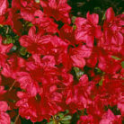 Rhododendron 'Mother's Day' (evergreen azalea)