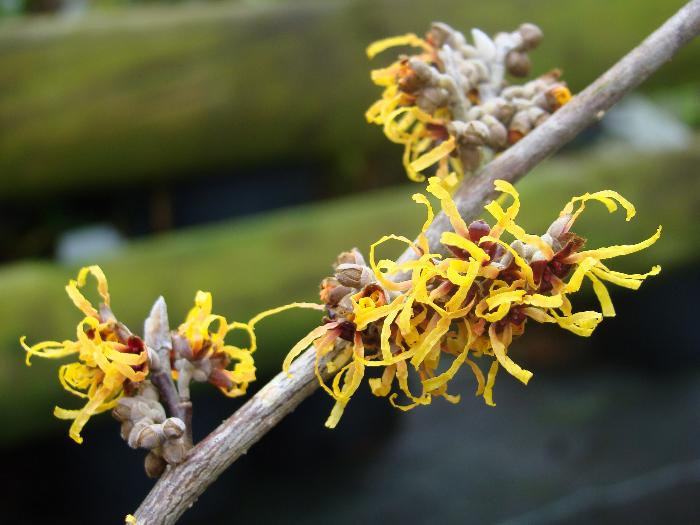 HAMAMELIS x intermedia 'Orange Beauty'