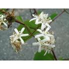 HEPTACODIUM miconioides