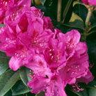 Rhododendron 'Anah Kruschke' (hybrid rhododendron)