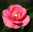 Camellia hiemalis 'Sparkling Burgundy' (camellia)