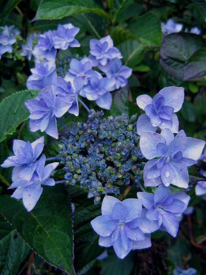 HYDRANGEA 'Fireworks Blue'