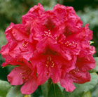 Rhododendron 'Lord Roberts' (hybrid rhododendron)