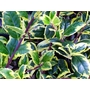ILEX aquifolium &#x27;Golden van Tol&#x27; 