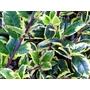 ILEX aquifolium 'Golden van Tol'