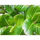 ILEX perado 'Perado' subsp. platyphylla