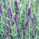 Lavandula x  intermedia 'Grosso' (lavender)