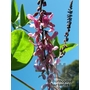 INDIGOFERA ablyantha  