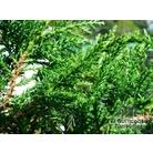 JUNIPERUS sabina var. tamariscifolia