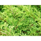 JUNIPERUS x media 'Carbery Gold'