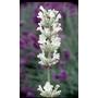 LAVANDULA angustifolia 'Arctic Snow'