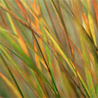 Anemanthele lessoniana (pheasant's tail grass (syn. Stipa arundinacea ))