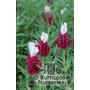 LAVANDULA stoechas 'Kew Red'