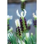 LAVANDULA stoechas 'Pretty Polly'