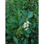 LIGUSTRUM ovalifolium  