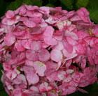 Hydrangea 'Preziosa' (hydrangea)