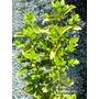 LIGUSTRUM ovalifolium 'Aureum'