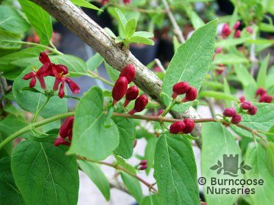 LONICERA tatarica 'Arnold's Red'