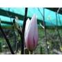 Magnolia amoena