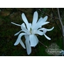 MAGNOLIA stellata 'Rose King'
