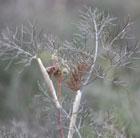 Foeniculum vulgare 'Giant Bronze' (fennel   bronze)