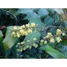 MAHONIA japonica 'Bealei'