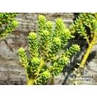 OLEARIA nummarifolia