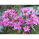 OLEARIA phloggopappa 'Combers Pink'