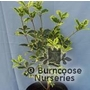 OSMANTHUS heterophyllus 'Aureomarginatus'
