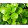 OSMANTHUS heterophyllus 'Rotundiflolius'