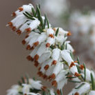 Erica carnea f. alba 'Whitehall' (winter heath)