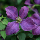 Clematis ??toile Violette (clematis (group 3))