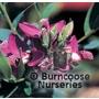 POLYGALA myrtifolia 'Grandiflora'