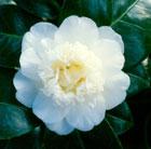 Camellia japonica 'Nobilissima' (camellia)