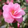 Camellia x  williamsii 'Donation' (camellia)