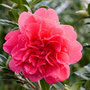 Camellia x  williamsii 'Anticipation' (camellia)