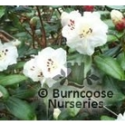 RHODODENDRON 'Bric a brac'
