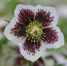 Helleborus x hybridus Harvington speckled white (Lenten rose hellebore)