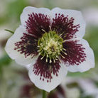 Helleborus x hybridus Harvington speckled white (Lenten rose hellebore)