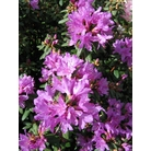 RHODODENDRON 'J.C. Williams'