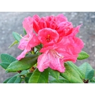 RHODODENDRON 'Robinette'