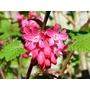 RIBES sanguineum 'King Edward VII' 