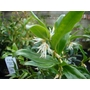 SARCOCOCCA hookeriana var humilis 