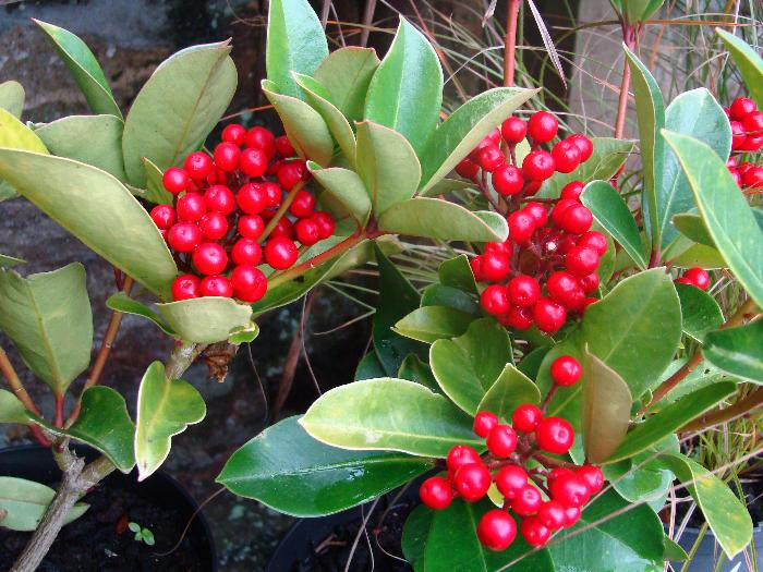 SKIMMIA japonica 'Redruth' (A.M. Form)