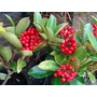 SKIMMIA japonica &#x27;Redruth&#x27; (A.M. Form) 